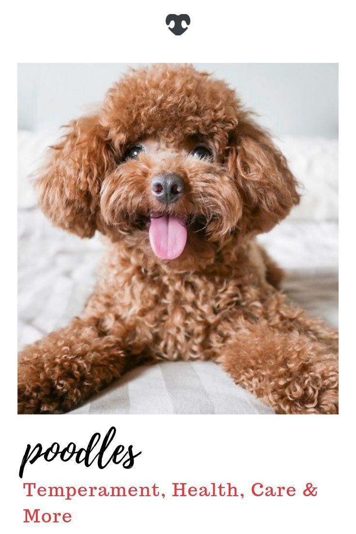 Poodle Breed Info Temperament Sizes Standard Miniature Toy More Dog Breeds Breeds Poodle Puppy