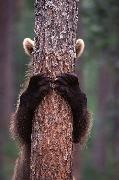 Bear cub playing hide and seek #WOWparksandzoos (we think he'd find a better hiding place in one of our Scottish castles... but it wouldn't be as cute)