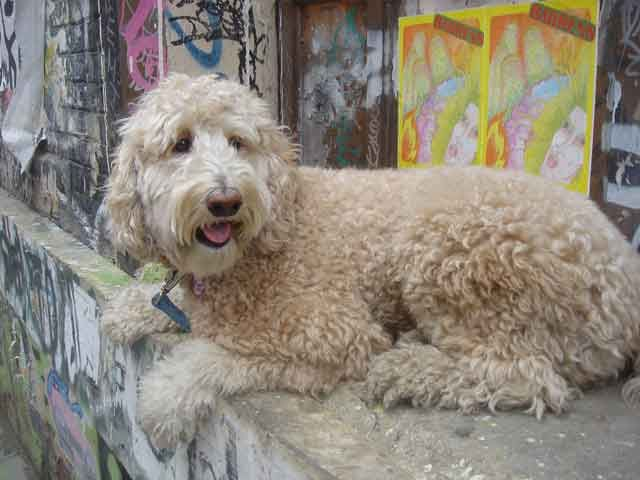 Labradoodle! Someday, I will own one of these.