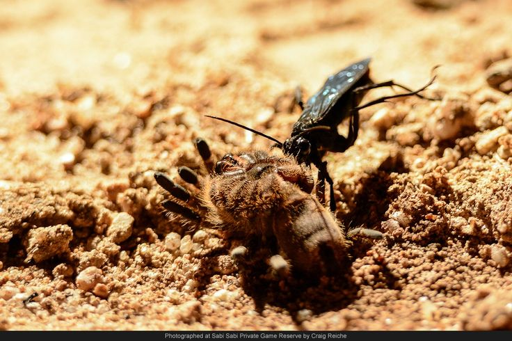 A Spider-hunting Wasp catches a Golden Brown Baboon Spider