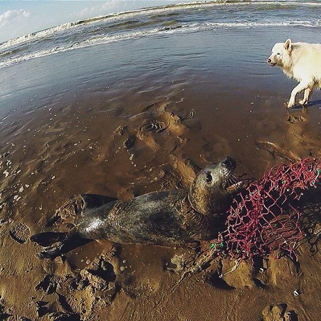 Deze foto stuurde @julien420 zojuist in! Hij was er gisteren bij toen Hulk op het strand van Scheveningen werd gevonden. Het Happy Seal project probeert er voor te zorgen dat dit soort netten niet meer in de zee belanden door ze in te zamelen en te laten recyclen. Hulk heeft er nare wonden aan over gehouden maar het gaat nu goed met hem! Nog even herstellen in Pieterburen en dan weer de zee in. Hopelijk overkomt dit hem niet nog eens! --- This photo was sent in by @julien420. He was there…