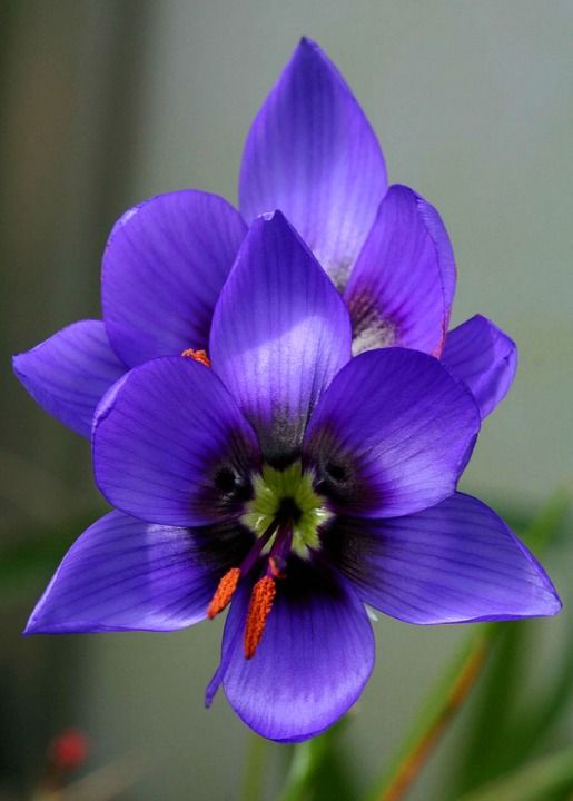 Geissorhiza splendidissima. Indigenous South African wildflower endangered in the wild; but so beautiful it is available in cultivation. photo: jeffs bulbesetpots.