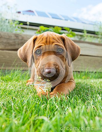 An african Rhodesian Ridgeback puppy is lying outside in the garden. The little puppy is chewing on a little flower. while looking straight into the camera. The little whelp is six weeks of age. Image taken as a funny wide angle shoot from the ground.