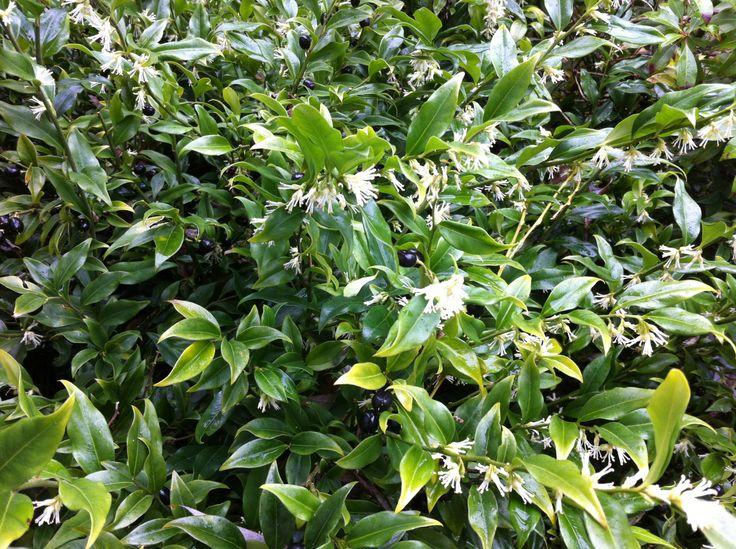 Sarcoccoca ruscifolia - Sweetbox