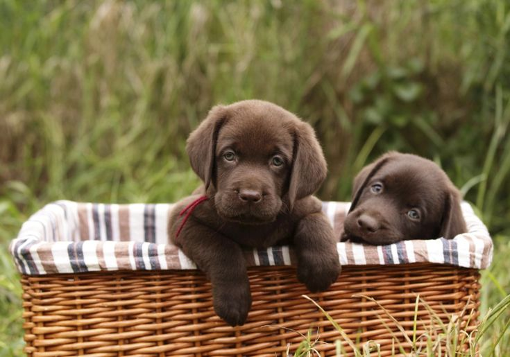 The American Kennel Club has released its list of the most popular dogs in America. The Labrador Retriever has been the most popular dog breed for 25 consecutive years. See if your breed made the list.