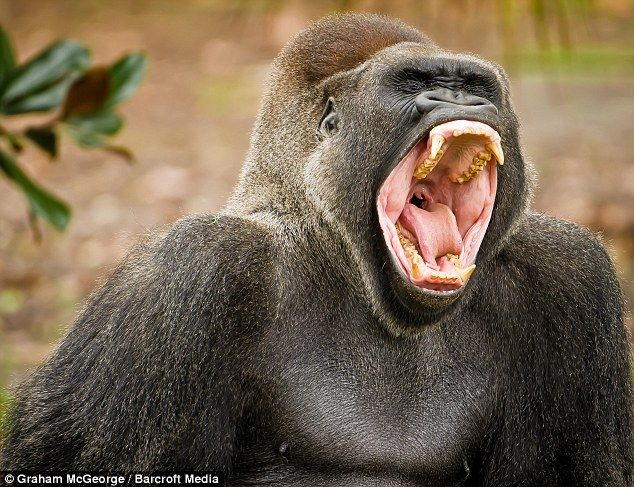 Sleepy: Lash the 38-year-old male silver-back gorilla looks tired as he shows his teeth when taking a huge yawn