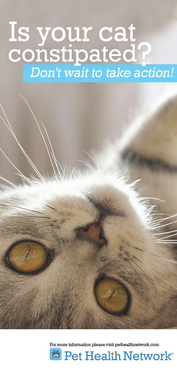 do cheetahs meow