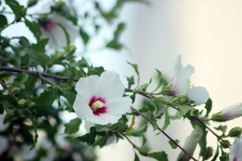 Korean national flower #hibiscus #koreannationalflower