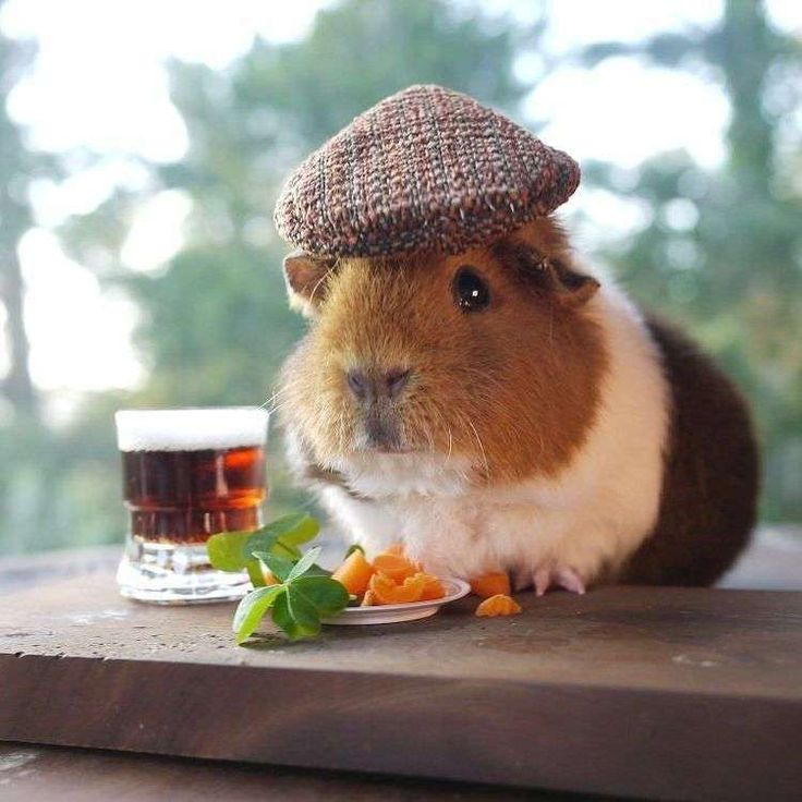 120+ Funny Guinea Pig Pictures
