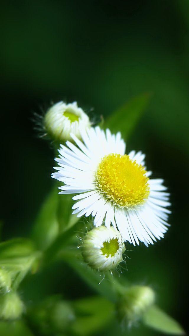 Iphone 5 White Flower Wallpaper