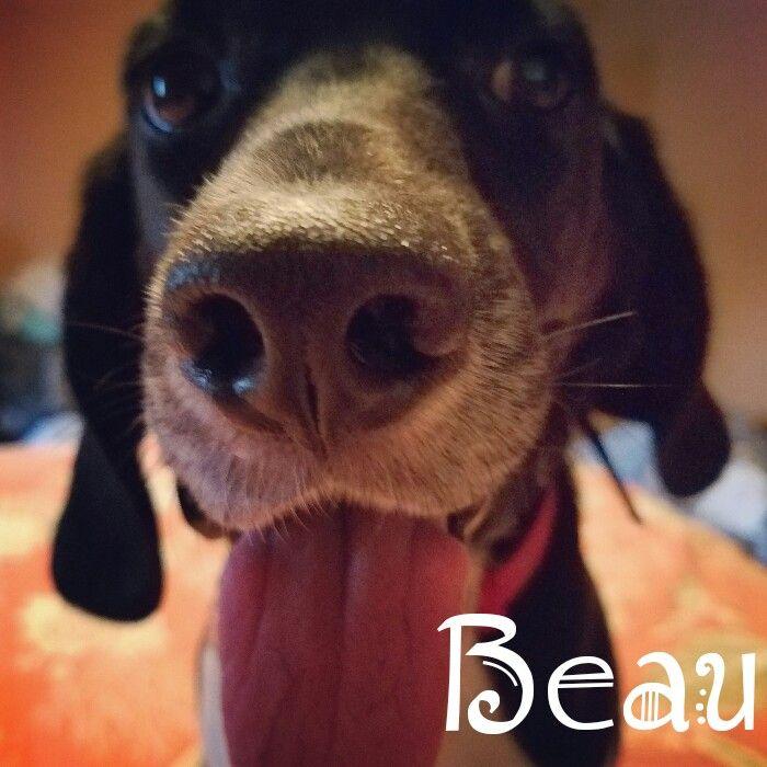 Beau the black beagle. Love my baby