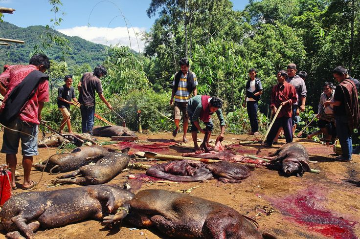 slaughter ritual in Toraja, South-Sulawesi