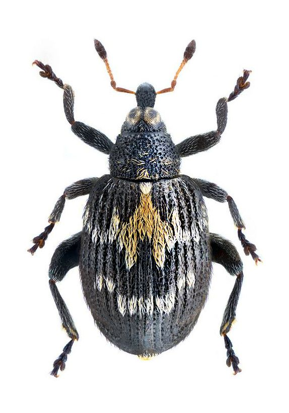 Tachyerges salicis. 245 best Insects images on Pinterest   Beetles  Insects and Nature