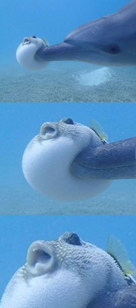 Baloon fish gets booped