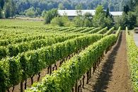 Domaine de Chaberton Estate Winery, Langley, BC.  Oldest and largest in the Fraser Valley and covers 50 acres.