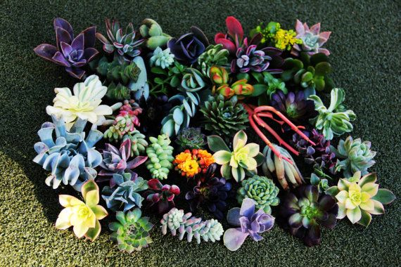 This is a listing for a collection of 15 beautiful 1-4 inch succulent cuttings. I will pick out a nice assortment, similar to the picture above,