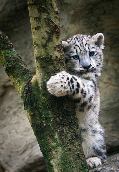 Snow leopard cub | ~ BIG ~ Kitty Katz | Pinterest