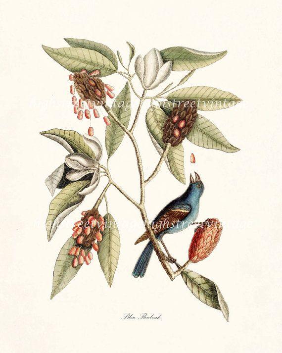 Bleu Fleabeak Natural History Bird Giclee By