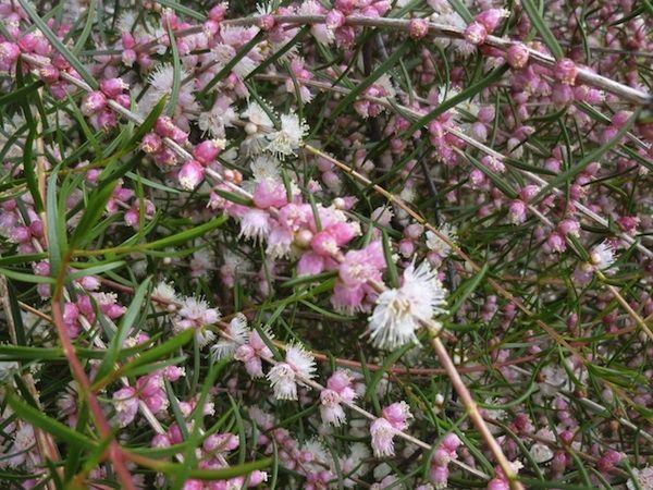 Hypocalyma angustifolia