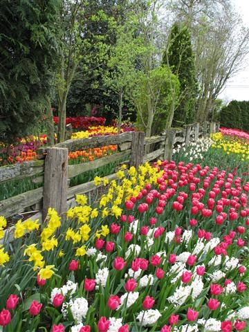 Tulip beds at the Roozengaarde garden at the Skagit Tulip Festival in Washington State. Photo by Taryn Koerker.    Words cannot describe this place; it should be on everyone's bucket list!