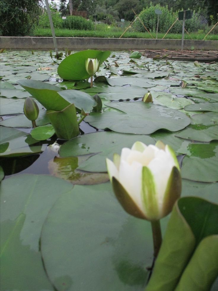 Paris -  Botanic Garden - Water-Lily