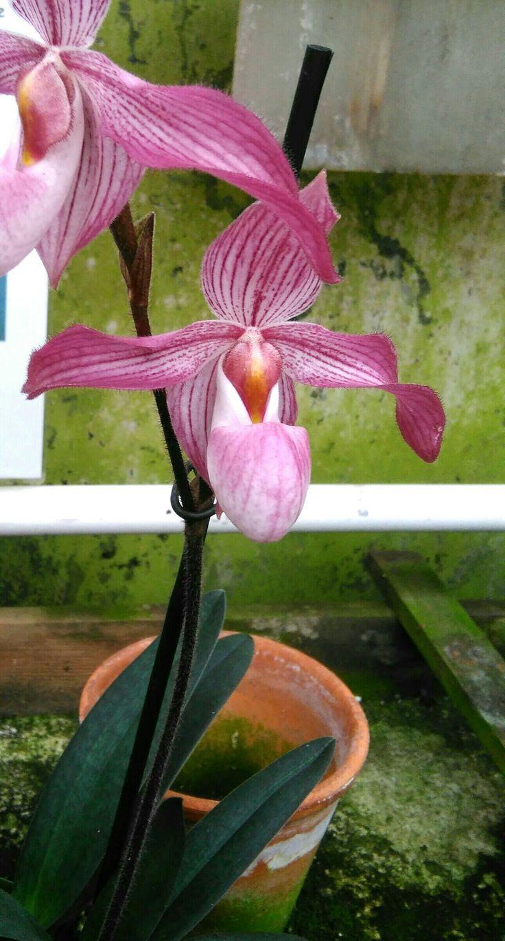 Paphiopedilum rothschildianum x niveum