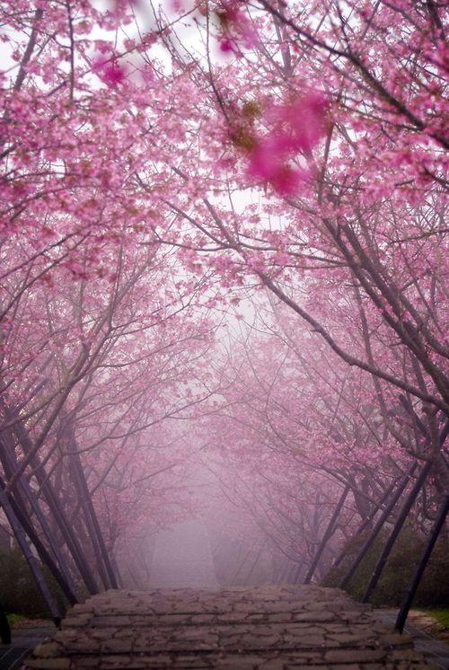 Cherry Blossom Bridge, Kyoto, Japan