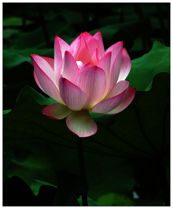 1170 best beautiful lotus images on pinterest lotus flowers lotus the lotus flower grows in muddy water and rises above the surface to bloom with remarkable beauty at night the flower closes and sinks underwater mightylinksfo