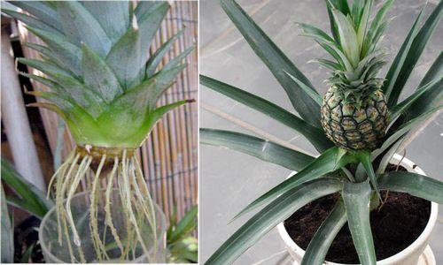 1624-Pineapple-Bush