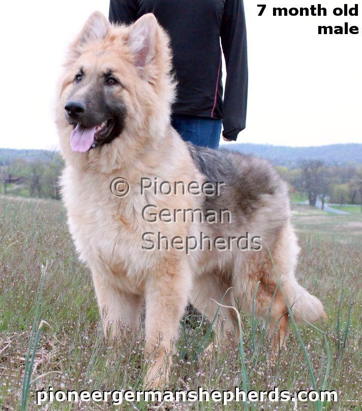 7 month old male long coat #GermanShepherd #puppy.  #GSD #dog