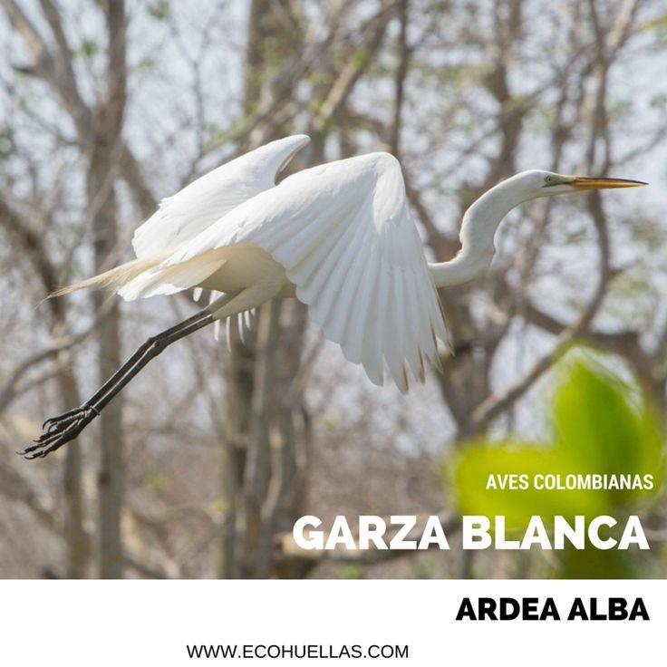 Garza Blanca,  David Osorio L & Rafael Rincón   Aviario Nacional De Colombia  #EcoHuellas #EcoCielo #AvesColombianas