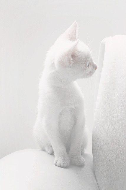 Pure white kitten