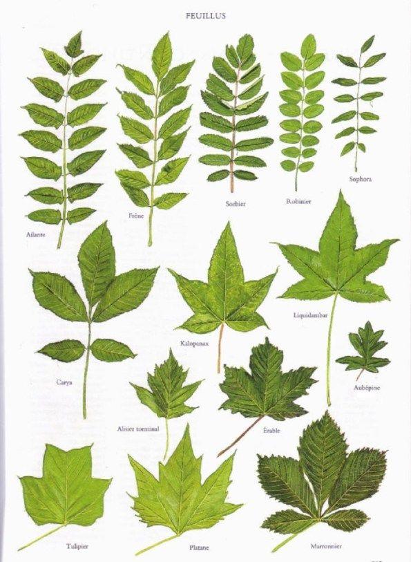 Quatre pages d'encyclopédies représentant les feuilles de 53 feuillus et 19 conifères