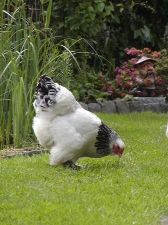 brahma hen - kip 2
