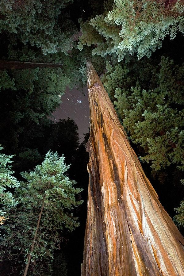 Redwood (sequoia Sempervirens) Trees Photograph by Bob Gibbons