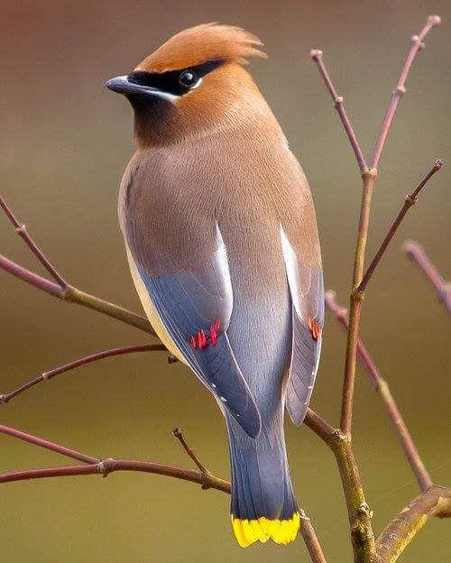 Cedar Waxwing, they are so beautiful and love to be in flocks and eat fruit off of our crab apple tree