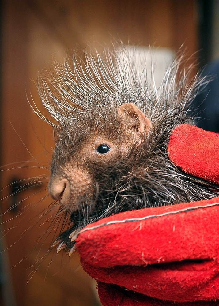 A baby porcupine gets his first check-up at the Chester Zoo in England. Two African crested porcupines, named Stempu and Noko, were born to mom Roxie and dad Nungu in September. Keepers gave the duo physical examinations, inserted microchips and took their weights during the routine checks.