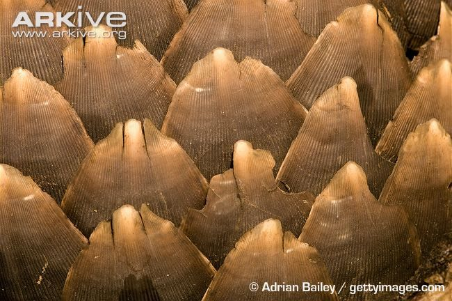 Ground pangolin, close-up of scales