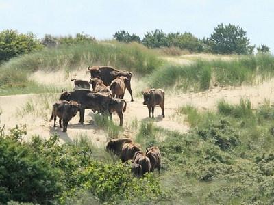 European bisons, Kraansvlak