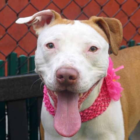 RIVER - A1121209 - - Manhattan  TO BE DESTROYED 08/16/17 **ON PUBLIC LIST** A volunteer writes: Before I met River, I was told that she was very timid. This is always a thing good to know before interacting with a dog or a cat. River came to her door as I called her and got leashed without effort. She ignored the barking of her kennelmates as we exited her room and aimed for the street. River pulls a little on the leash and does her business right way. Her tail is not shy a