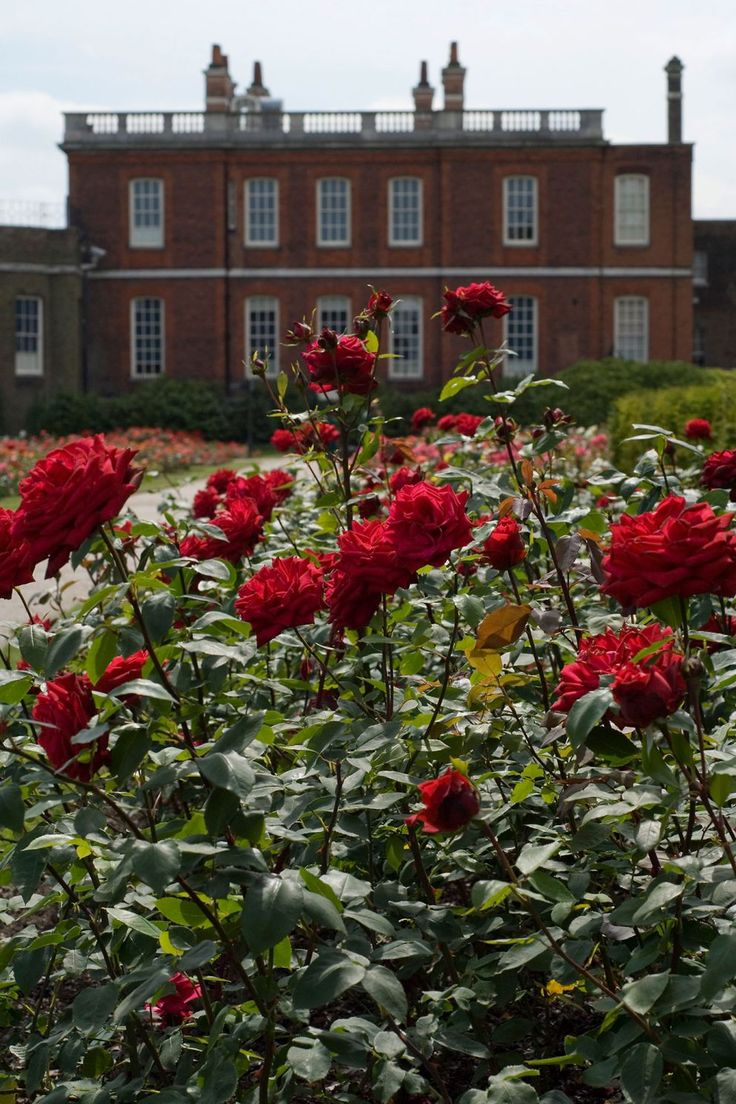 Red roses in the Rose Garden