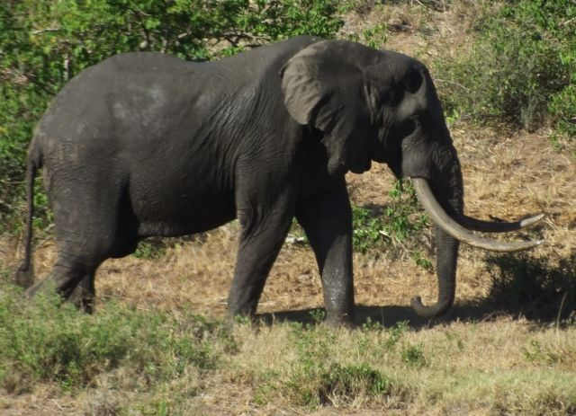 Kruger tusker