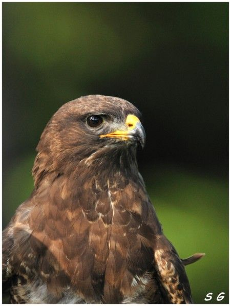 Buse variable  (Buteo buteo)  (Common Buzzard)