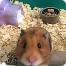 Middle Island, NY - Hamster. Meet Hamsters, a for adoption. http://www.adoptapet.com/pet/14837780-middle-island-new-york-hamster