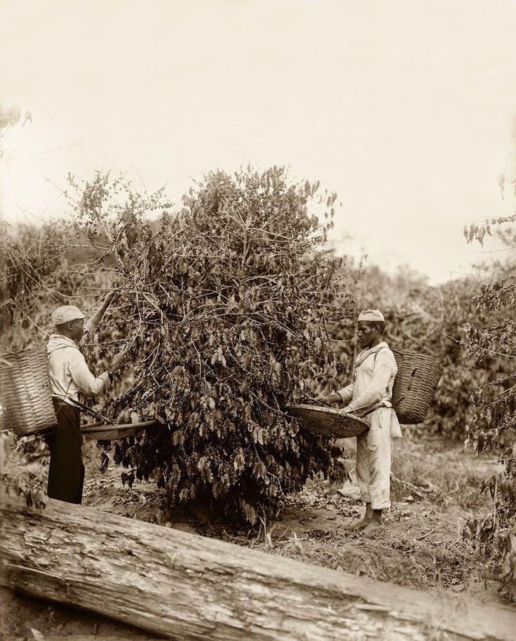Escravos na colheita do café, Rio de Janeiro, 1882 (Marc Ferrez/Acervo Instituto Moreira Salles).