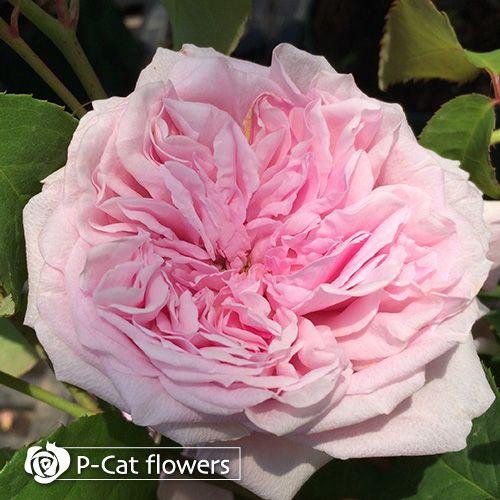 https://pcat-rose.jp/cp-bin/wp3/wp-content/uploads/2015/11/prettyjessica4.jpg