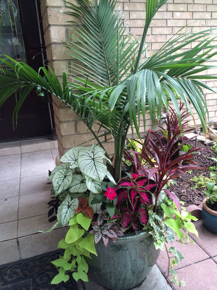 the 25 best ideas about majesty palm on pinterest pool plants pool landscaping and palm. Black Bedroom Furniture Sets. Home Design Ideas