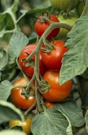Tipps zur Tomatenanzucht: Frost, Dünger, gießen, anbinden, ausgeizen - DIY-Academy