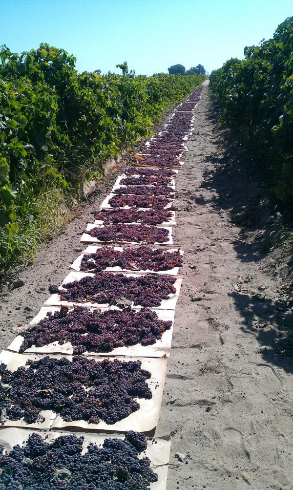 Grape Harvest , my mother enjoyed this time of season and had many stories to tell about how the grapes were picked.
