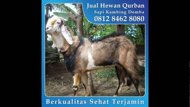 0812 8462 8080 (Tsel), Jual Hewan Qurban di Pulo Gadung BKT Pasar Gembrong